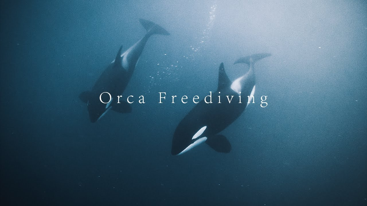 orca freediving in norway youtube